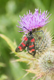 Six-spot Burnet Royalty Free Stock Images