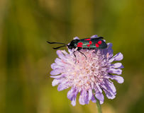 Six-spot Burnet Moth Royalty Free Stock Image