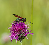 Six spot Burnet Moth Stock Photo
