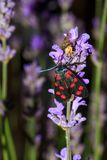 Six-spot burnet moth at night. The six-spot burnet Zygaena filipendulae on lavender flowers at night with a spider eating a fly in the background Royalty Free Stock Photos