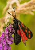 Six spot burnet moth Stock Photos