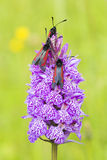 Six-spot Burnet moth Stock Photography