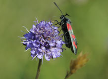 Six-spot Burnet moth Royalty Free Stock Photo