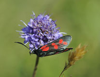 Six-spot Burnet moth Stock Photo
