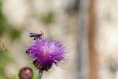 Six-spot Burnet moth,Zygaena Filipendulae, on Knapweed