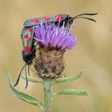 Two six spot burnet moths on Southampton Common Stock Images