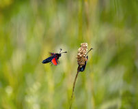 Six Spot Burnet Moths Stock Image