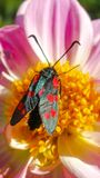 Six-spot Burnet on pink Lily. Zygaena filipendulae moth on pink Lily flower. Photo in smartphone wallpaper format Stock Images