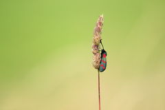 Six-spot burnet Stock Photos