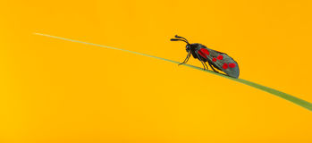 Six-spot burnet, Zygaena filipendulae. On a blade of grass in front of an orange background Stock Images