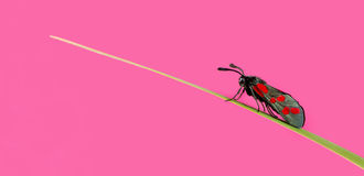 Six-spot burnet, Zygaena filipendulae. On a blade of grass in front of a pink background Stock Image