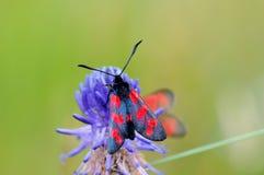 Six-spot burnet Zygaena filipendulae butterfly on flower. Six-spot burnet Zygaena filipendulae moth on Rampion flower phyteuma Royalty Free Stock Photo