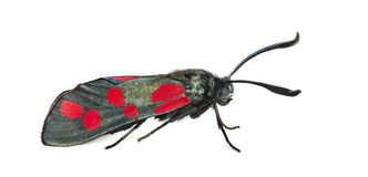 Six-spot burnet Royalty Free Stock Photos