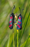 Six-spot burnet (zygaena filipendulae) Stock Images