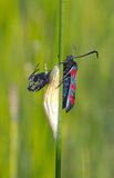 Six-spot burnet (zygaena filipendulae) Stock Photo