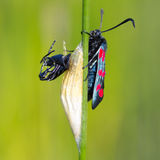 Six-spot burnet (zygaena filipendulae) Royalty Free Stock Image