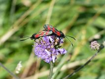 Six spot burnet, Zygaena filipendulae mating on a flower macro. Two Zygaena filipendulae Six spot burnet, red spotted black wings insect  mating on a purple Stock Photography
