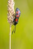 Six-spot Burnet (Zygaena filipendulae) Moth on bright Green Back Royalty Free Stock Images