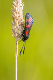 Six-spot Burnet (Zygaena filipendulae) Moth on bright Green Back Stock Photo
