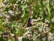 Six-spot burnet, Zygaena filipendulae, moth feeding on flower with bokeh background macro, selective focus, shallow DOF.  Royalty Free Stock Photography