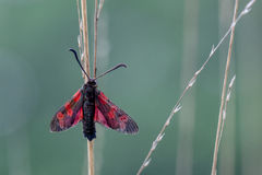 Six-spot Burnet (Zygaena filipendulae) Moth on Green Background Stock Photos