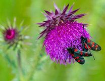 Six spotted burnet moths on thistle flower Royalty Free Stock Photography
