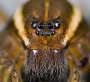 Six Spotted Fishing Spider. Face Of Six Spotted Fishing Spider Royalty Free Stock Photo