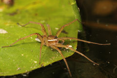 Six-spotted Fishing Spider on a Lily Pad. Six-spotted Fishing Spider (Dolomodes triton) Waiting to Ambush its Prey on a Lily Pad - Ontario, Canada Stock Photo