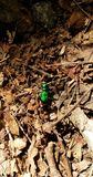 Six spotted green tiger beetle Royalty Free Stock Image