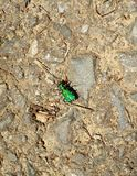 Six spotted green tiger beetle Stock Photography
