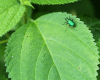 Six Spotted Tiger Beetle Stock Photos