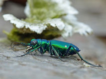 Six-Spotted Tiger Beetle Royalty Free Stock Photo