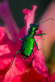 Six Spotted Tiger Beetle on Flower Royalty Free Stock Image