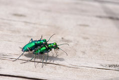 Six-spotted Tiger Beetles. Photograph of a pair of Six-spotted Tiger Beetles, with their brilliant emerald reflective shells, mating on a park bench stock images