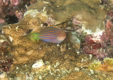 Six stripe wrasse swimming over coras. Six stripe wrasse pseudocheilinus hexataenia swimming over coral reef of Bali, Indonesia stock photo