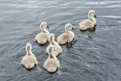 Six swan chicks swimming in group. In Caldecotte Lake in UK summer stock photos