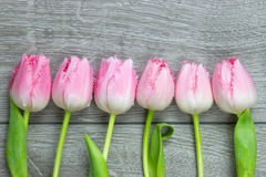 Six tulips on a row Stock Photography