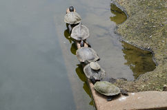 Six turtles sunbathing Royalty Free Stock Image