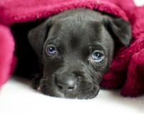 Sleepy black puppy dog with blue eyes under the bed covers, Georgia USA Stock Photo