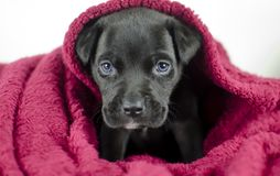 Black puppy dog with blue eyes under the bed covers, Georgia USA Royalty Free Stock Image