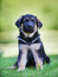Six week old german shepherd dog. Six week old pedigree german shepherd puppy outdoors on a sunny day Royalty Free Stock Photography