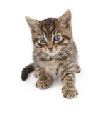 Six week old kitten on white Royalty Free Stock Photos