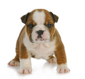 Six week old puppy Stock Image