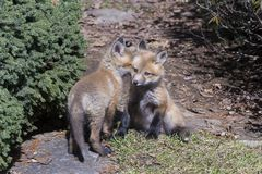 Red fox cubs sharing a secret. Six-week old red fox cub turning its face to its seated sibling`s ear as if whispering something to him stock photography