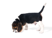 Six-week puppy beagle on the trail Stock Image