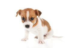 Six weeks old Jack Russel. Puppy dog isolated over white background Royalty Free Stock Image