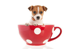 Six weeks old Jack Russel in big coffee cup Stock Image