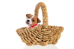 Six weeks old Jack Russel in basket. Six weeks old Jack Russel puppy dog in wicker basket isolated over white background Stock Photos