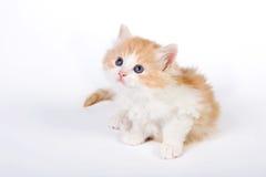 Six weeks old kitten Royalty Free Stock Photo