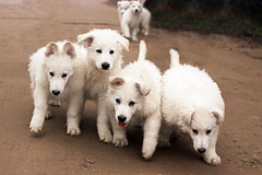 Six white running  puppies Stock Images